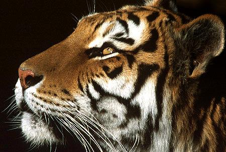 3_tiger